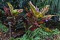 Codiaeum variegatum (croton) (9057411539).jpg