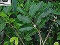 Coffea robusta A.jpg