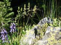 Coiled beak lousewort with lupine. (8dc935276f614d9ab824cf686f20774a).JPG