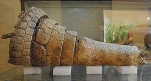 Neosclerocalyptus - Tail armour