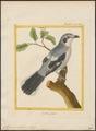 Collyrio excubitor - 1700-1880 - Print - Iconographia Zoologica - Special Collections University of Amsterdam - UBA01 IZ16600367.tif