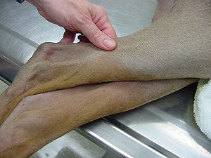 Canine follicular dysplasia - Color dilution alopecia in a fawn doberman. The close-up of the leg shows the characteristic sparing of the tan color points in this syndrome, only fawn hairs being affected.