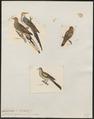 Columbula squamosa - 1700-1880 - Print - Iconographia Zoologica - Special Collections University of Amsterdam - UBA01 IZ15600441.tif