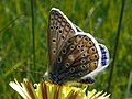 Common Blue (Polyommatus icarus) (8984639416).jpg