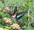 Common Blue Bottle2.jpg