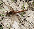 Common Darter Male Sympetrum striolatum (38681040475).jpg