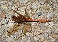 Common Darter male. S. striolatum (31321541447).jpg