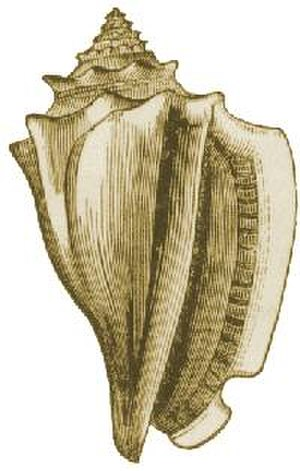 Conch - A drawing of the shell of Strombus alatus, the Florida fighting conch