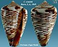 Conus crotchii 3.jpg
