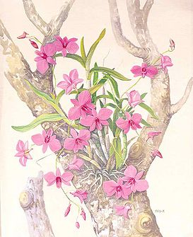 Cooktown Orchid.jpg
