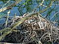Coot Nest 20-04-10 (4543610091).jpg