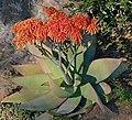 Coral Aloe (Aloe striata) (31710241744).jpg