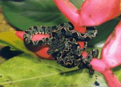 Corallushortulanus.png