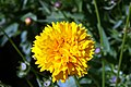 Coreopsis grandiflora Sunray 1zz.jpg