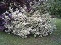 Cornus sericea in a garden.jpg