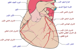 Coronary arteries-ar.png