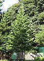 Corylus colurna0.jpg