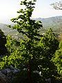 Corylus colurna subadriatic dinaric mountains Orjen.JPG