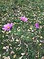 Cosmos bipinnatus 55075713.jpg