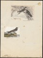 Cotile riparia - 1700-1880 - Print - Iconographia Zoologica - Special Collections University of Amsterdam - UBA01 IZ16700177.tif