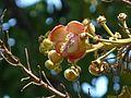 Couroupita guianensis Aubl. (2206339811).jpg