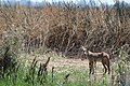 Coyote at Sacramento National Wildlife Refuge (47974820308).jpg