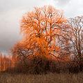 Crack willow Lodz(Poland)(js).02.jpg