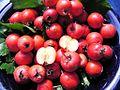 Crataegus pedicellata Frucht.jpg