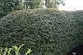 Crataegus spathulata 2zz.jpg