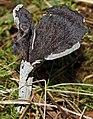 Craterellus cornucopioides in Finland.jpg