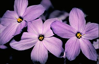 Creeping phlox flower.jpg