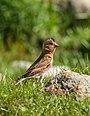 Crimson-winged Finch (Rhodopechys sanguineus) (35782365605).jpg