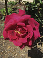 Crimson Glory Maddingley 5-11-2013.jpg