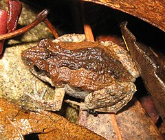 The Common Eastern Froglet (Crinia signifera)