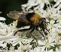 Criorhina berberina (female) - Flickr - S. Rae.jpg