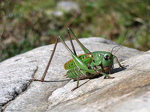A nice cricket picture taken in french Alps.