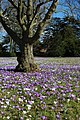 Crocuses at Madresfield Court - geograph.org.uk - 1764733.jpg