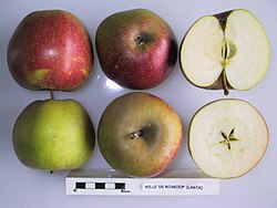 Cross section of Belle de Boskoop (LA 67A), National Fruit Collection (acc. 1973-169).jpg