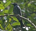 Crow-billed Drongo (Dicrurus annectans) - Flickr - Lip Kee (cropped).jpg