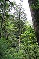 Cryptomeria japonica Yakushima 10.jpg