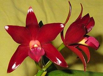 Cattlianthe - Image: Ctt Chocolate Drop VQ flowers