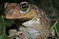 Cuban Spotted Toad (Peltophryne taladai) (8575064934).jpg