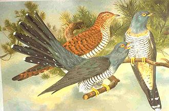 Edward Jenner - Common cuckoo
