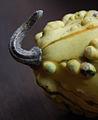 Cucurbita pepo ornamental gourd - detail of gourd peduncle.jpg