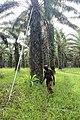 Cueillette de régime de palme 3.jpg
