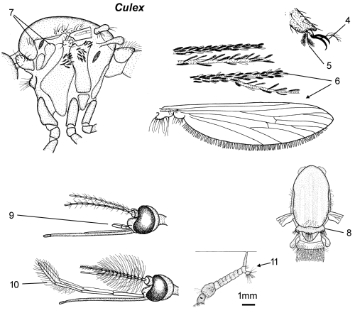 Culex thorax parts.png
