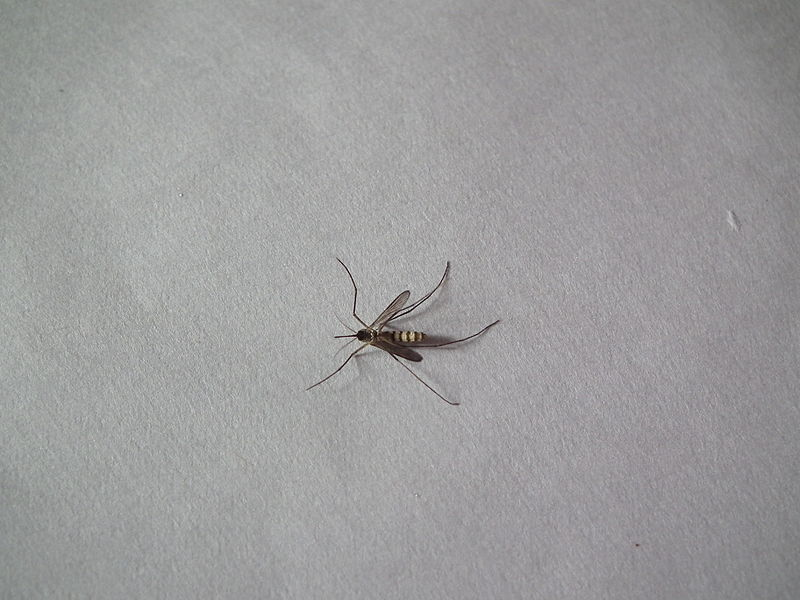 File:Culicidae or Mosquito 8880.JPG