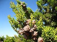 Cupressus forbesii at Coal Canyon-Sierra Peak, Orange County - Flickr - theforestprimeval (16).jpg
