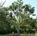 Cussonia spicata, habitus, b, Pretoria NBT.jpg
