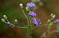 Cyanthillium cinereum (Ash Fleabane) W IMG 2850.jpg